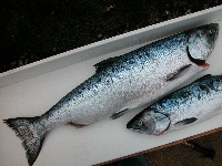 blackmouth chinook