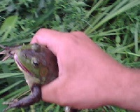 accidentally caught a frog