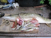 "29"" pike with 31 perch inside its gut..."
