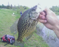 13.5 inch Crappie