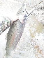 Bend lip steelhead