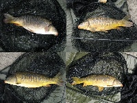 Blackstone Mirror carp