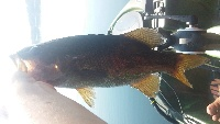 dropshot smallmouth