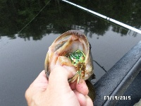 Tully River Frog Eater