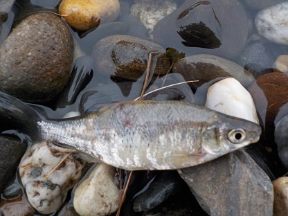 Bait fish found at water's edge