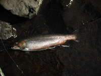 'nother mousam sea run brookie