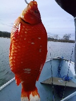 Orange Carp 6 pounds