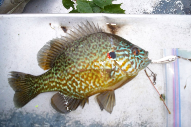 June Pumpkinseed