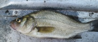 "July 11&3/4"" White Perch"