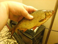 Huge Golden Shiner!