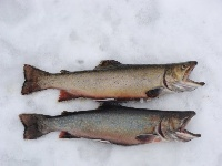 2 nice trout caught on Pemiquid Pond