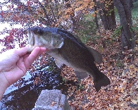 Spy Pond Bass