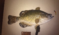 Meloys Crappie