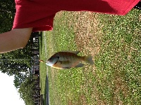 Nice bluegill from lake quannapowitt