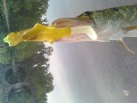 pickerel head