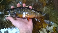 male brook trout 3