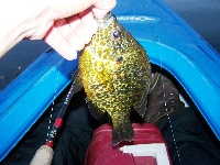 Actually lipping a 1lb Pumpkinseed!