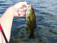 Crazy fighting 1lb smallie! Another!