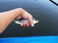 Little White Perch