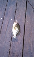 Decent sized Crappie Charles River Waltham