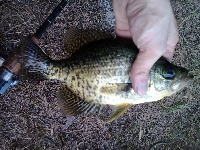 Calico Bass(Black Crappie)