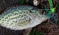 greenwich lake crappie
